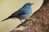 Teide's Blue Chaffinch (Fringilla Teydea) on Tree  Teide Np  Tenerife  Canary Islands  Spain  May