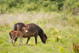 Exmoor Pony and Foal {Equus Caballus} at Westhay Nature Reserve  Somerset Levels  Somerset  UK