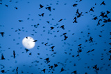 Large Flock of Bramblings (Fringilla Montifringilla) in Flight at Dusk  Infront of Moon  Austria