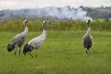 Minnie'  'Squidgy' and 'Vince'  Three Eurasian Cranes (Grus Grus) Released onto Somerset Levels  UK
