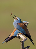 European Roller (Coracias Garrulus) Pair with Courtship Gift of Insect Prey  Pusztaszer  Hungary