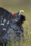 Capercaillie (Tetrao Urogallus) Male Displaying Cairngorms National Park  Scotland  UK  September
