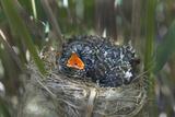Chick of European Cuckoo (Cuculus Canorus) in Reed Warbler's (Acrocephalus Scirpaceus) Nest  UK