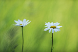 Two Marguerite - Oxeye Daisy (Leucanthemum Vulgare) Flowers  Roudenhaff  Mullerthal  Luxembourg