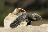 Loggerhead Turtle (Caretta Caretta) Hatching  Dalyan Delta  Turkey  July