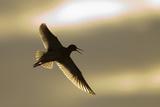Redshank (Tringa Totanus) Calling in Flight  Outer Hebrides  Scotland  UK  June