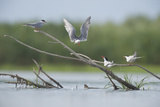 Common Terns (Sterna Hirundo) on Branches Sticking Out of Water  Lake Belau  Moldova  June 2009