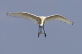 Spoonbill (Platalea Leucorrodia) in Flight  Texel  Netherlands  May 2009