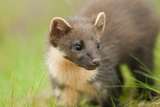 Pine Marten (Martes Martes) Kit in Caledonian Forest  the Black Isle  Highlands  Scotland  UK