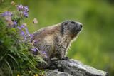 Alpine Marmot (Marmota Marmota) Hohe Tauern National Park  Austria  July 2008