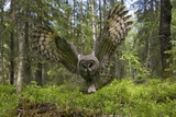 Great Grey Owl (Strix Nebulosa) in Flight in Boreal Forest  Northern Oulu  Finland  June 2008