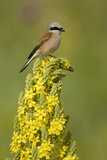 Red-Backed Shrike Male (Lanius Collurio) Perched on Denseflower Mullein  Bulgaria  May