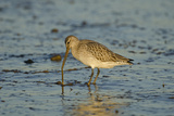 Bar-Tailed Godwit Foraging for Tidal-Flat Worm Norfolk  January Sequence 2 of 2