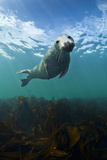 Grey Seal (Halichoerus Grypus) Portrait Underwater  Farne Islands  Northumberland  England  UK