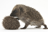 Two Young Hedgehogs (Erinaceus Europaeus) One Standing  One Rolled into a Ball