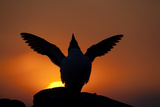 Silhouette of Razorbill (Alca Torda) Against Sunset  Flapping Wings June 2010