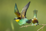 European Bee-Eater (Merops Apiaster) Pair in Courtship Display  Bulgaria  May 2008