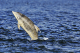 Juvenile Bottlenosed Dolphins (Tursiops Truncatus) Jumping  Moray Firth  Nr Inverness  Scotland