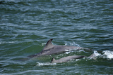 Two Bottlenosed Dolphins (Tursiops Truncatus) Surfacing  Moray Firth  Nr Inverness  Scotland  May