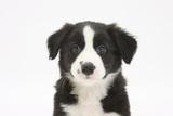 Border Collie Puppy Portrait