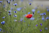 Red Poppy (Papaver Rhoeas) Brown Knapweed (Centaurea Jacea) and Forking Larkspur  Slovakia