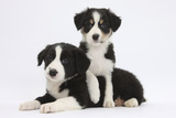 Border Collie Puppies Playing