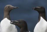 Two Razorbills and a Common Guillemot  Saltee Islands  County Wexford  Ireland  June