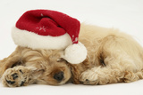 Buff American Cocker Spaniel Puppy  China  10 Weeks Old  Asleep with Father Christmas Hat On