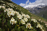 Caucasian Rhododendron Flowers with Mount Elbrus in the Distance  Caucasus  Russia  June 2008