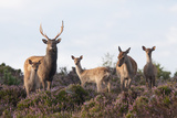 Sika Deer (Cervus Nippon)  Stag  Hind and Young  Amongst Flowering Heather  Dorset  UK  August