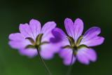 Two Hedgerow Cranesbills (Geranium Pyrenaicum) Flowers  Larochette  Mullerthal  Luxembourg  May