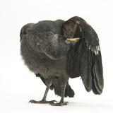 Baby Jackdaw (Corvus Monedula) Preening