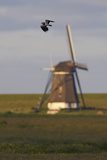 Lapwing (Vanellus Vanellus) Flying Past Windmill  Texel  Netherlands  May 2009