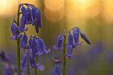 Bluebells (Hyacinthoides Non-Scripta - Endymion Non-Scriptum) in Flower  Hallerbos  Belgium