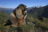 Alpine Marmot (Marmota Marmota) Feeding  Hohe Tauern National Park  Austria  July 2008
