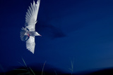 Whiskered Tern (Chlidonias Hybrida) in Flight at Night  Lake Skadar  Lake Skadar Np  Montenegro
