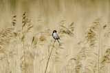 Reed Bunting (Emberiza Schoeniclus) Male Perched on Reeds  Woodwalton Fen  Cambridgeshire Fens  UK