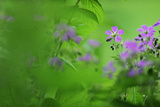 Woody Cranesbill (Geranium Sylvaticum) in Flower  Oesling  Ardennes  Luxembourg  May