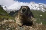 Alpine Marmot (Marmota Marmota) Portrait  Hohe Tauern National Park  Austria  July 2008