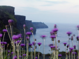 Melancholy Thistle Flowers  Cliffs of Moher  the Burren  County Clare  Ireland  June
