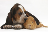 Basset Hound Puppy  Betty  9 Weeks  with Ear over a Red Guinea Pig
