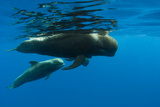Shortfin Pilot Whale (Globicephala Macrorhynchus) with Baby  Canary Islands  Spain  Europe  May
