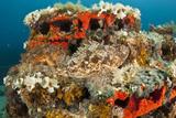 Two Scorpionfish (Scorpaena Porcus) Lying on Artificial Reef  Larvotto Marine Reserve  Monaco