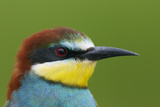 European Bee-Eater (Merops Apiaster) Head Portrait  Pusztaszer  Hungary  May 2008
