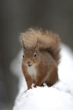 Red Squirrel (Sciurus Vulgaris) Portrait in Snow  Cairngorms National Park  Scotland  March 2007