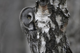 Great Grey Owl (Strix Nebulosa) Peering around Birch Tree  Bergslagen  Sweden  June 2009