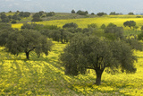 Olive Trees with by Yellow Bermuda Buttercups (Oxalis Pes Caprae) Kaplika  Northern Cyprus  April