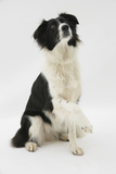 Border Collie Sitting Holding a Paw Up