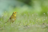 Yellowhammer (Emberiza Citrinella) on Grass Perthshire  Scotland  June