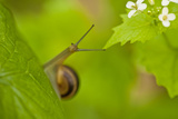 Snail on Garlic Mustard (Alliaria Petiolata) Leaves  Hallerbos  Belgium  April